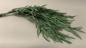 Eucalyptus parvifolia préservé